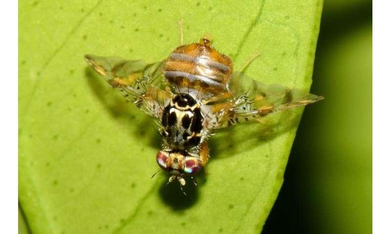 Genetically modified fly deployed against fruit pest