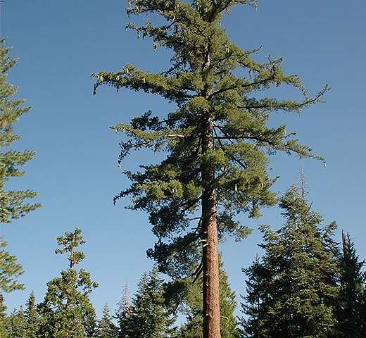 Genome sequencing may save California's legendary sugar pine
