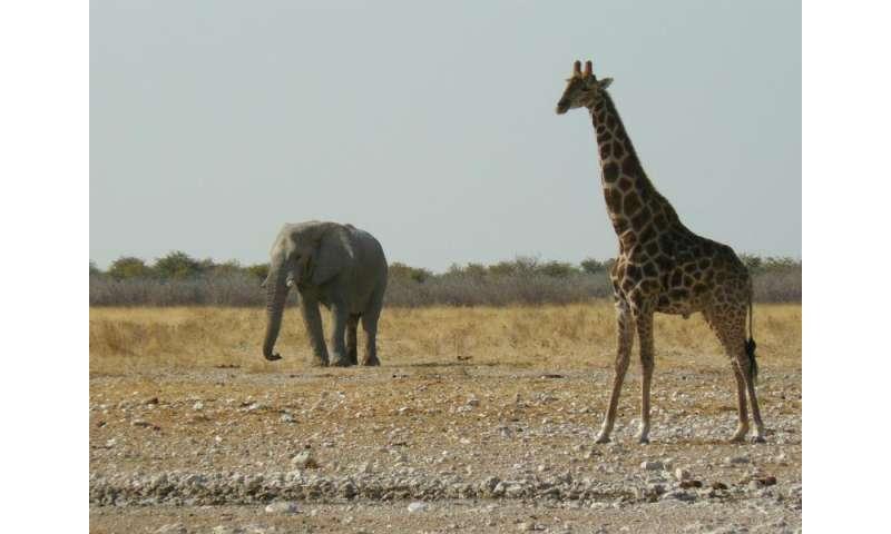 Giraffes aren't dangerous –but they will soon beendangered