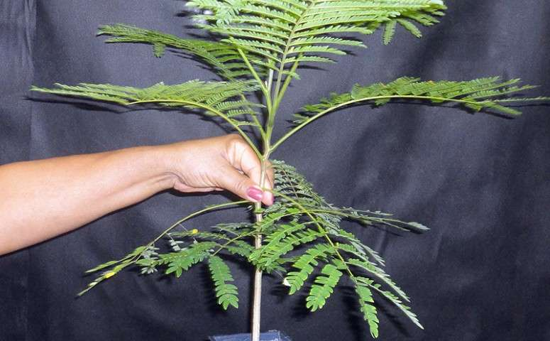 Guam research aids in understanding recruitment limitation of rare tree