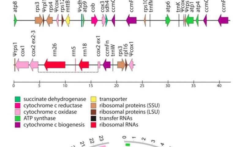 IU biologists find mistletoe species lacks genes found in all other complex organisms