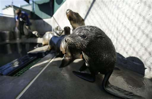 Large numbers of Guadalupe fur seals dying off California