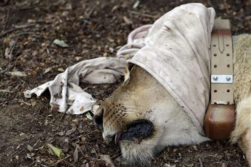 Lions returned to Rwanda 15 years after population wiped out