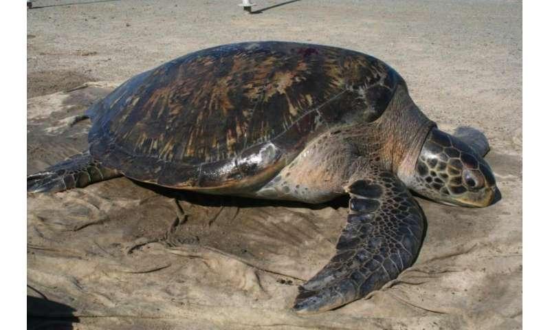 New method reveals female biased green sea turtle sex ratio in San Diego Bay