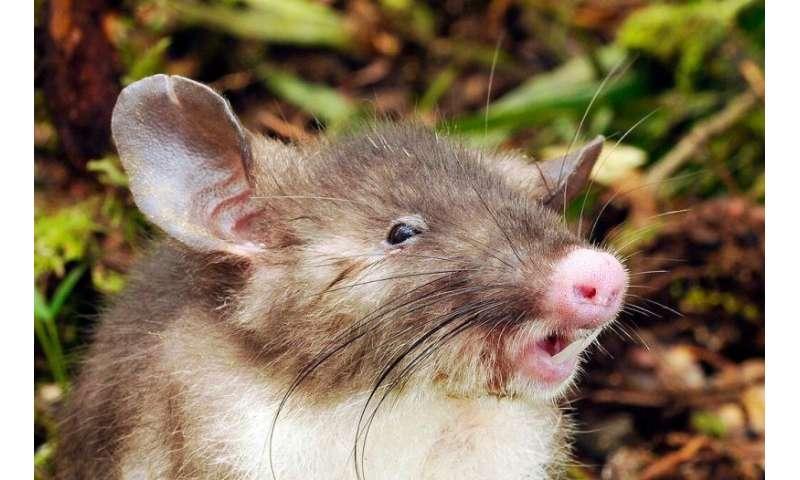 New species discovered: Hog-nose rat