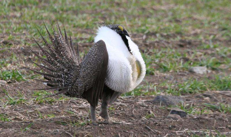 Power lines restrict sage grouse movement in Washington