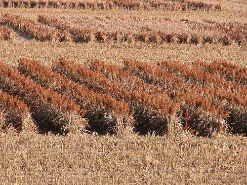 Scientists develop higher yielding sorghum plants