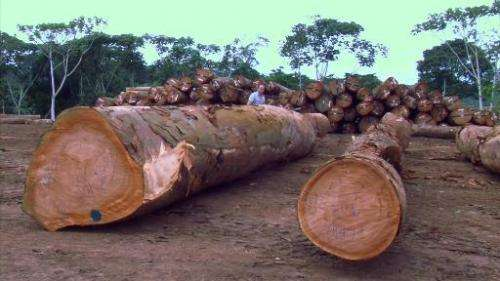 Screengrab from an AFPTV video shot in January 2015 shows logs cut down in the forest in Bambidie, eastern Gabon