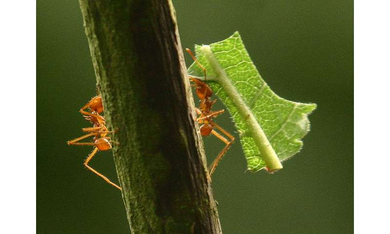Study sheds light on how leafcutter ants use chemical secretions to prevent fungal infections
