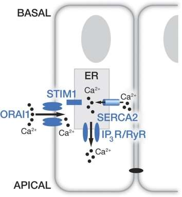 The cellular mechanism for transporting calcium in the formation of dental enamel cells