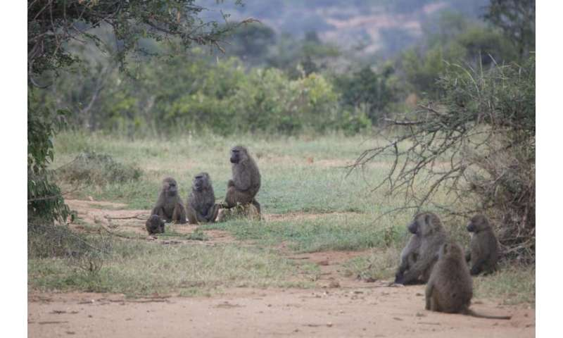 The majority rules when baboons vote with their feet