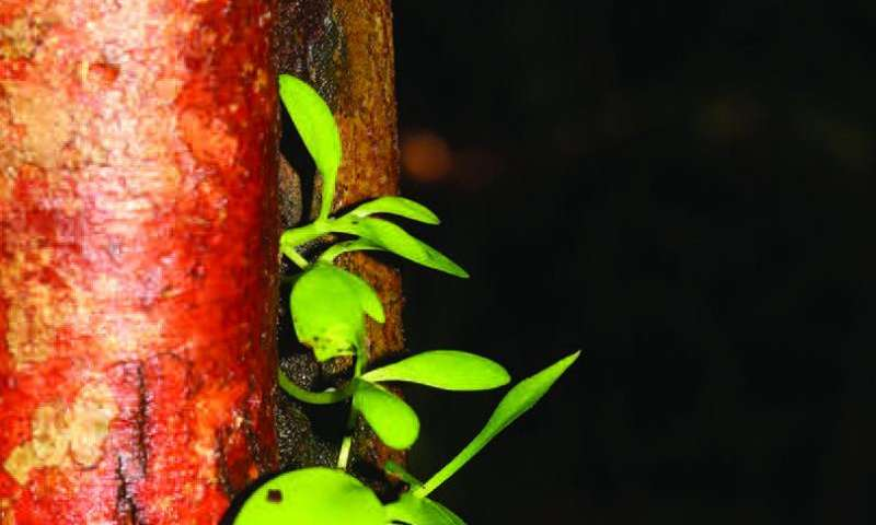 Thriving in the tropics of Borneo: 2 new Hoya species on the third largest island