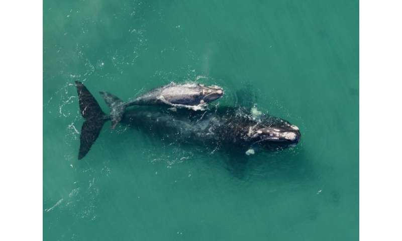What was killing the young right whales? New research finds a suspect