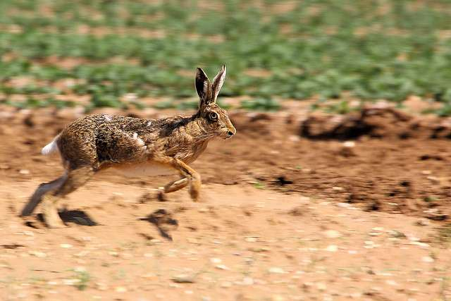 Climate change threatens more than two-thirds of rabbit species