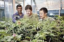 Scientists unlock secrets of Aussie 'resurrection' grass