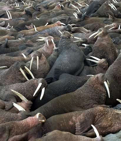 Alaska's popular walrus cam streams again after a decade