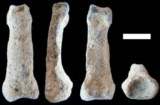 A picture released on August 18, 2015 by Nature Communications shows a OH 86 hominin manual proximal phalanx in (from L-R) dorsa