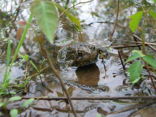 Deadly frog fungus dates back to 1880s, studies find