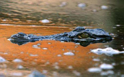File photo shows a Nile crocodile at an animal park in Civaux, France on September 24, 2008