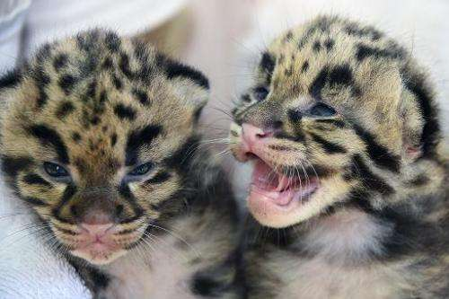 Handout photo obtained March 30, 2015 from the Zoo Miami in Miami, Florida shows two female clouded leopards