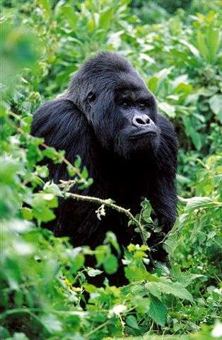 New census critical for mountain gorillas in Virunga