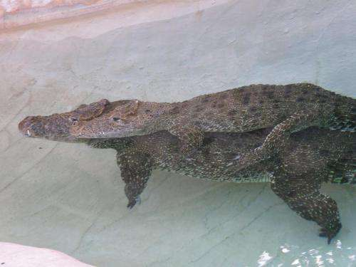 University of Tennessee study: Crocodiles just wanna have fun, too