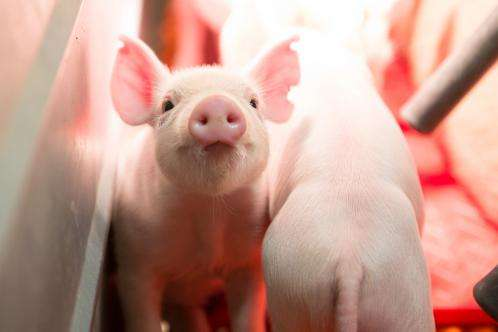 Researchers successfully produce genome-edited pigs using revolutionary technology