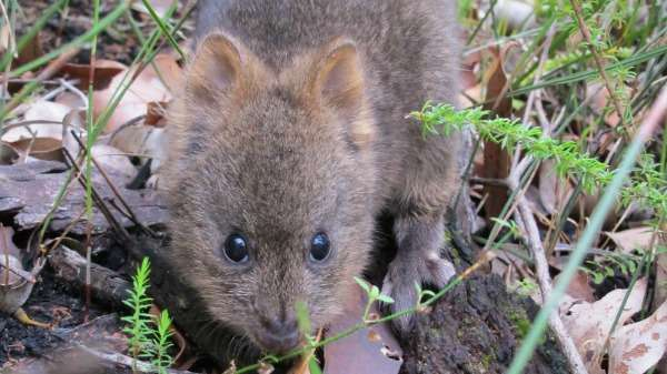 Breakthrough in southern quokka conservation