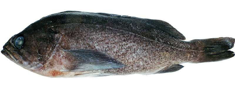 Researchers conclude popular rockfish is actually two distinct species