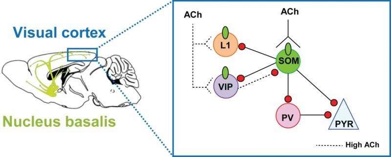 Researchers ID brain mechanisms underlying alertness and attentiveness
