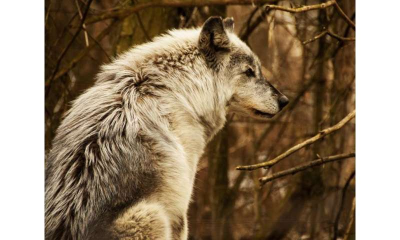 International team says carnivore hunting policy and science don't align