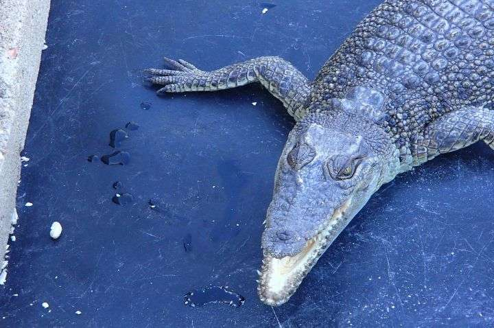 Scientists find that crocodiles do, indeed, sleep with one eye open