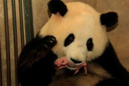 Researchers publish analysis of giant panda milk