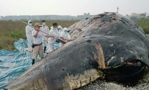 Marine biologists conduct an autopsy on a dead sperm whale in the southern Taiwanese city of Tainan on October 24, 2015