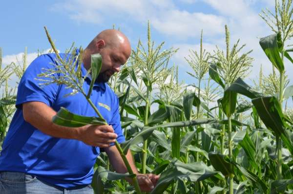 Researchers look at sweet corn damage caused by stink bugs