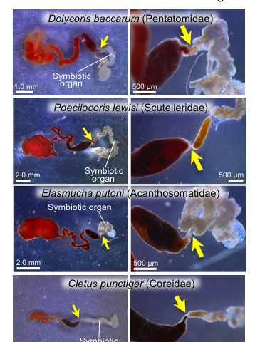 Unique mechanism for symbiont acquisition in stink bugs, a group of notorious pest insect