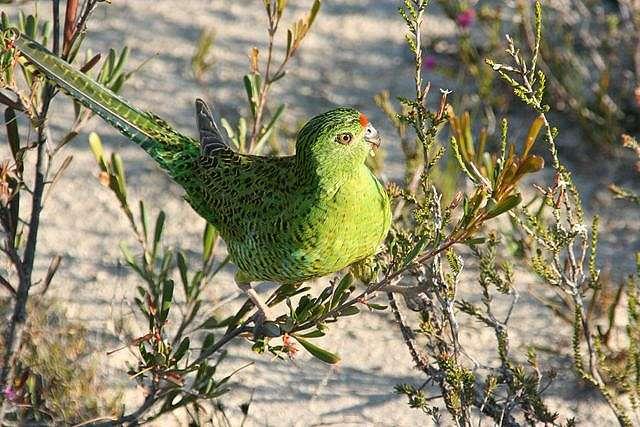 Western Australia's rarest bird species headed for extinction