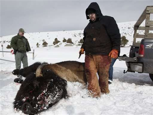 Yellowstone park proposes killing 1,000 bison this winter
