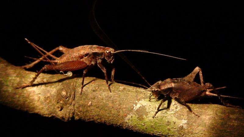 Dartmouth-led team discovers new acoustic, vibrational duet in crickets
