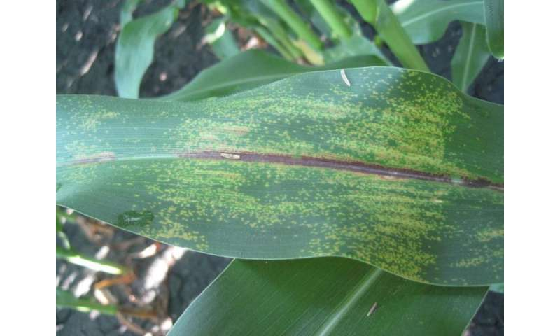 Scientist studies emergent corn disease that could slash yields across the state