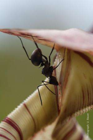 Pitcher plants 'switch off' traps to capture more ants