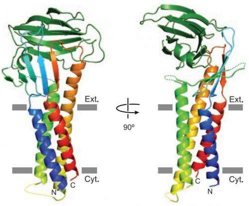 Researchers gain better understanding of cellular intestinal barrier structure