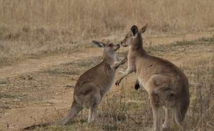 Few friends for shy kangaroos