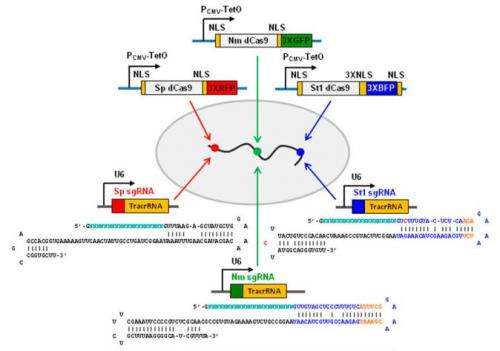 Color-coading gene sequences in human cells