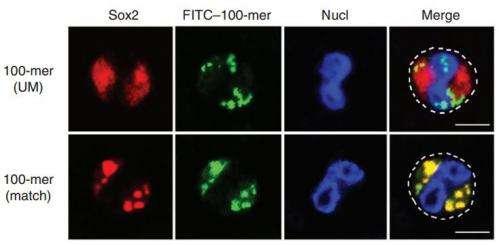 Immune cells repurpose a stem cell transcription factor as a pathogen sensor