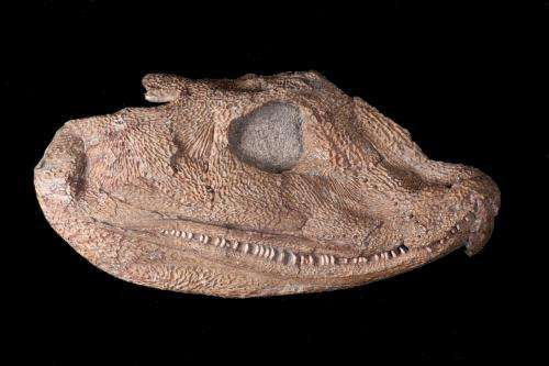 Fossil skull sheds new light on transition from water to land