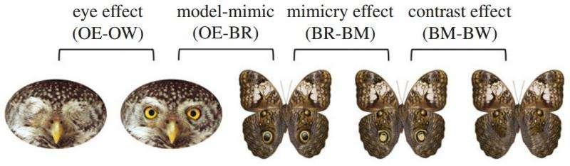 Study suggests fake eyes on butterfly wings mimic eyes of predators