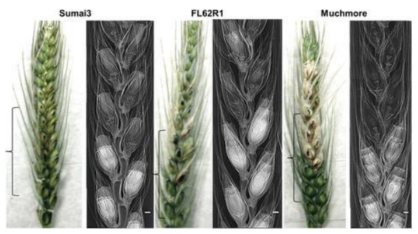 Cause of wheat resistance to scab discovered