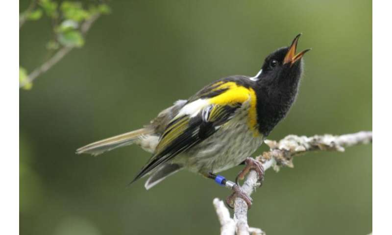 Vagrant bachelors could save rare bird