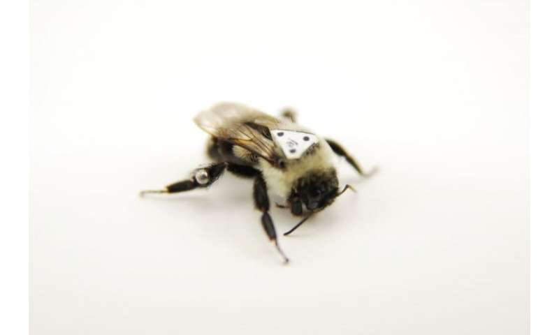 Study shows bumblebees fly differently depending on the load they are carrying